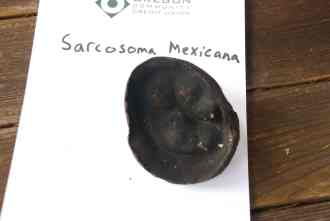 sarcosoma_mexicana