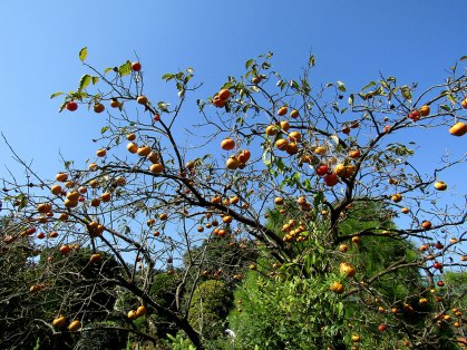 One of a hundred persimmon trees we saw during our hike.