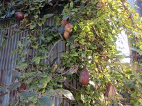This one was a mystery. It appears to be an akebi tree, which only has a two-week fruiting season in early fall. The pods were already dried out in the first week of October.
