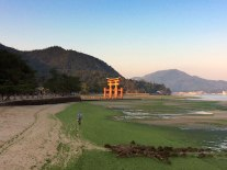 At low tide, the seaweed looks like grass along the shoreline near the Great Torii