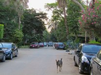 My neighborhood. The stray dog breed is called Baladi. My landlady has several dogs and cats she has adopted.