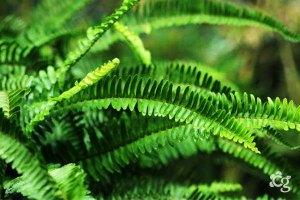 Samambaia---Plantas-Ornamentais---Cascalheira-Garden---Paisagismo-e-Jardinagem - Cascalheira Garden - Jardinagem e Paisagismo Camaçari