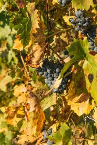 Wine Tour Piedmont Vineyard
