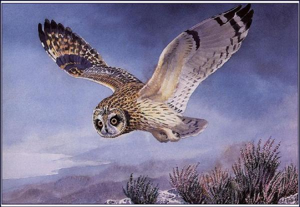 Painting of an Owl, Charles Tunnicliffe