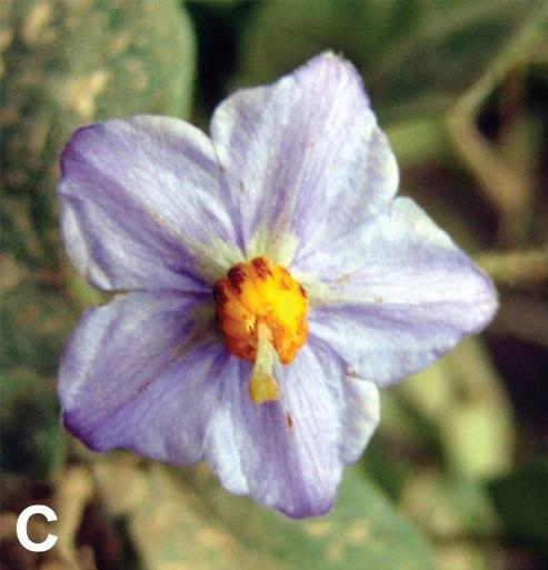 Solanum Baretiae Flower
