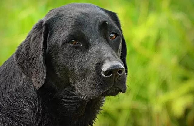 लैबराडोर रिट्रीवर कुत्ते के बारे में 10 बातें आपको जरूर जानना चाहिए ।