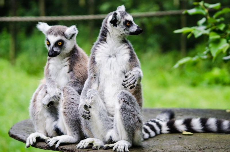 Ring-tailed lemurs, Madagascar, Countries for Kids, CASE OF ADVENTURE