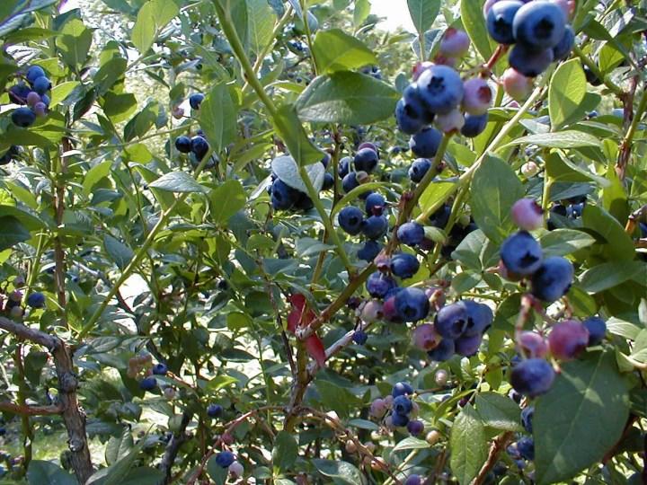 idei de amenajare a gradinii arbusti fructiferi