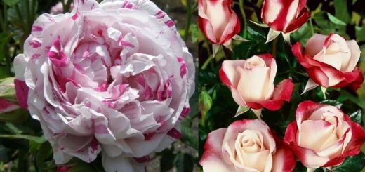 Cele mai neobisnuite soiuri de trandafiri