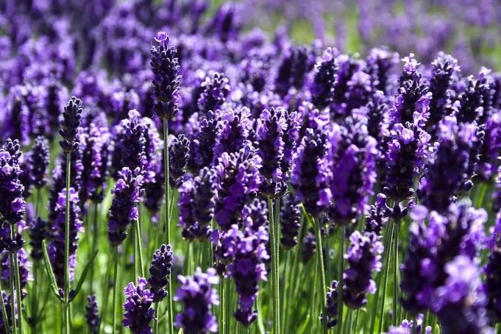 Plante care iubesc soarele și caldura in gradina