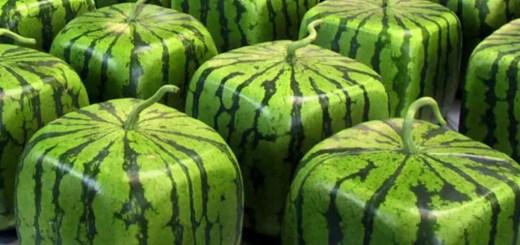 Pepenele patrat. Povestea unuia dintre cele mai ciudate fructe pe care le-am vazut vreodata in gradina