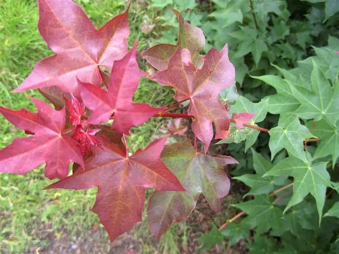 Arbori ornamentali cu frunze rosii in parcuri