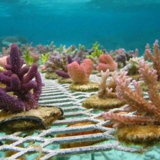 Gradinarit subacvatic pentru salvarea coralilor