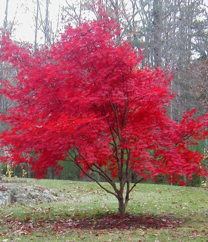 Arbori ornamentali pitici in gradina