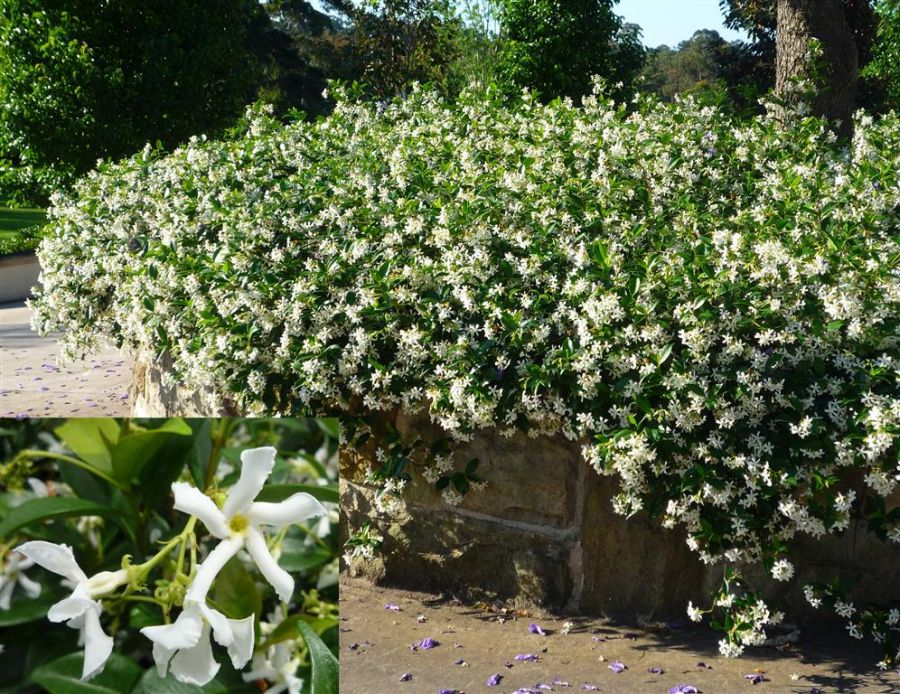 Climbing Plants That Produce Fragrant Flowers