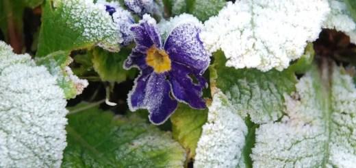 Flori de gradina care se planteaza toamna si rezista frigului