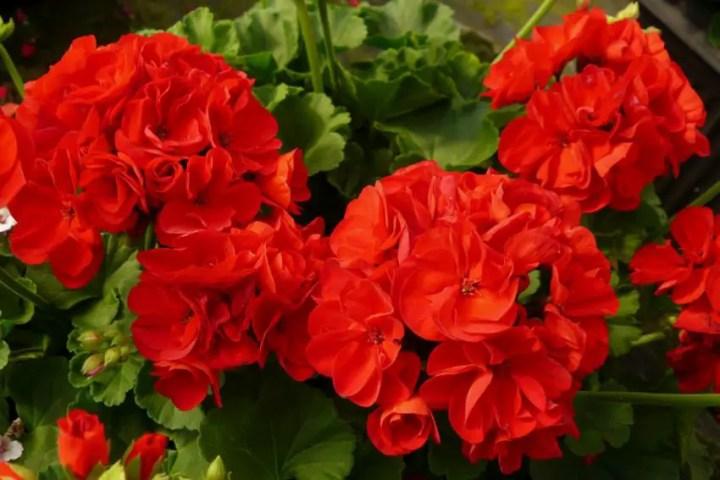 Flori care simbolizeaza prietenia sincera