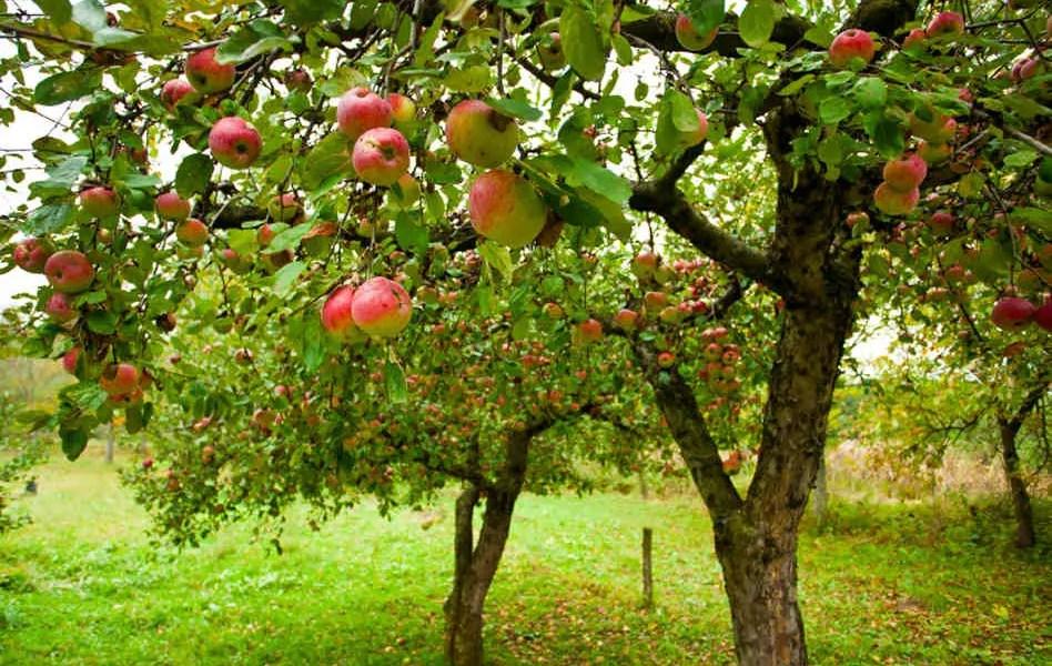 Plantarea pomilor fructiferi toamna tarziu