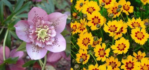 Cele mai rezistente flori de gradina din lume