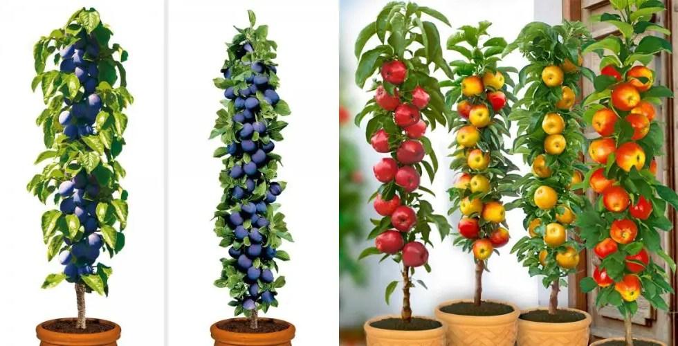 Pomi fructiferi columnari acasa