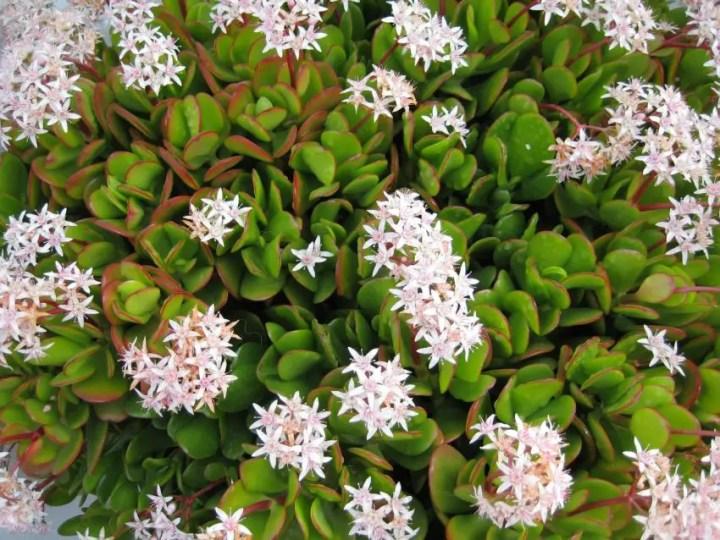Cele mai rezistente flori de camera din lume