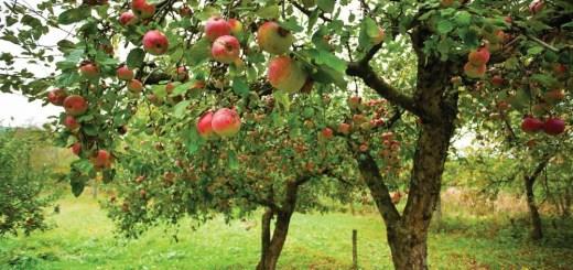 La ce distanta se planteaza pomii fructiferi in gradina