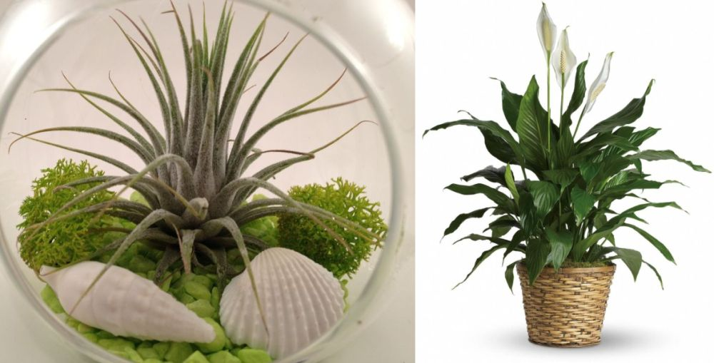 Plante care absorb umiditatea din camera si toxine
