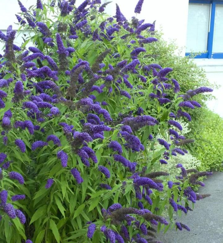 arbusti de gradina cu flori Blooming shrubs 2