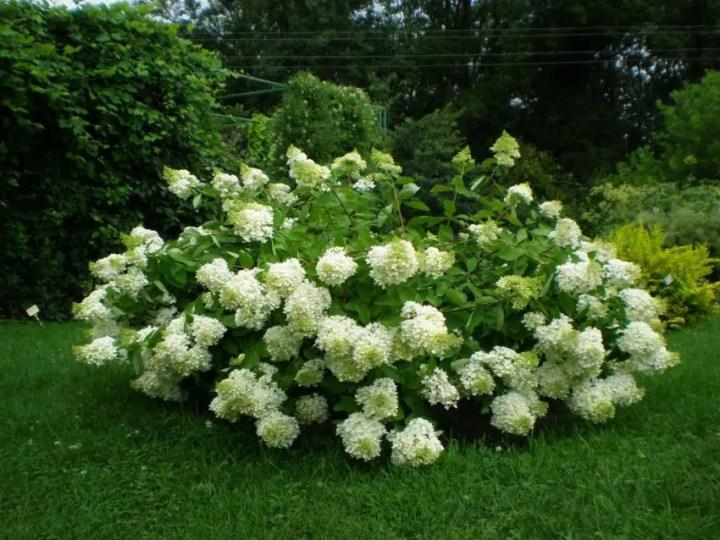 arbusti de gradina cu flori Blooming shrubs 3