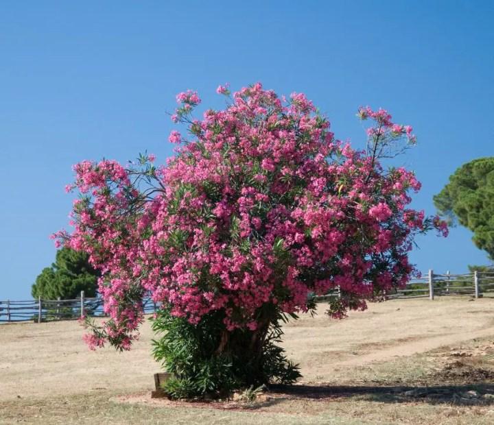 arbusti de gradina cu flori Blooming shrubs 4