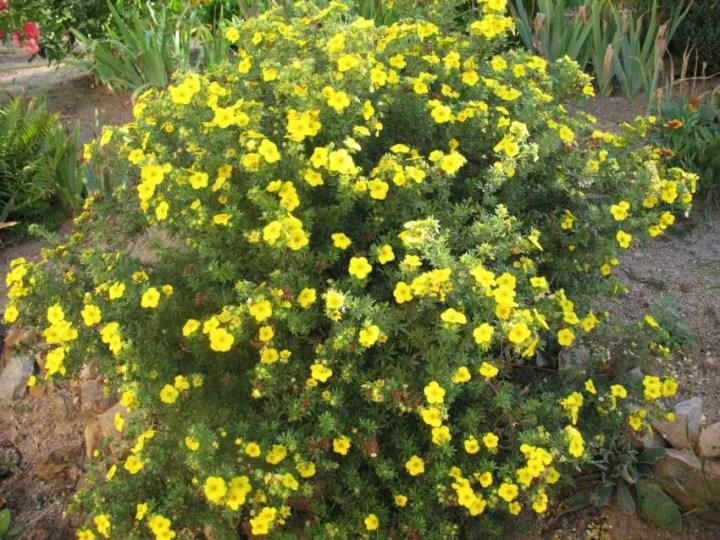arbusti de gradina cu flori Blooming shrubs 5