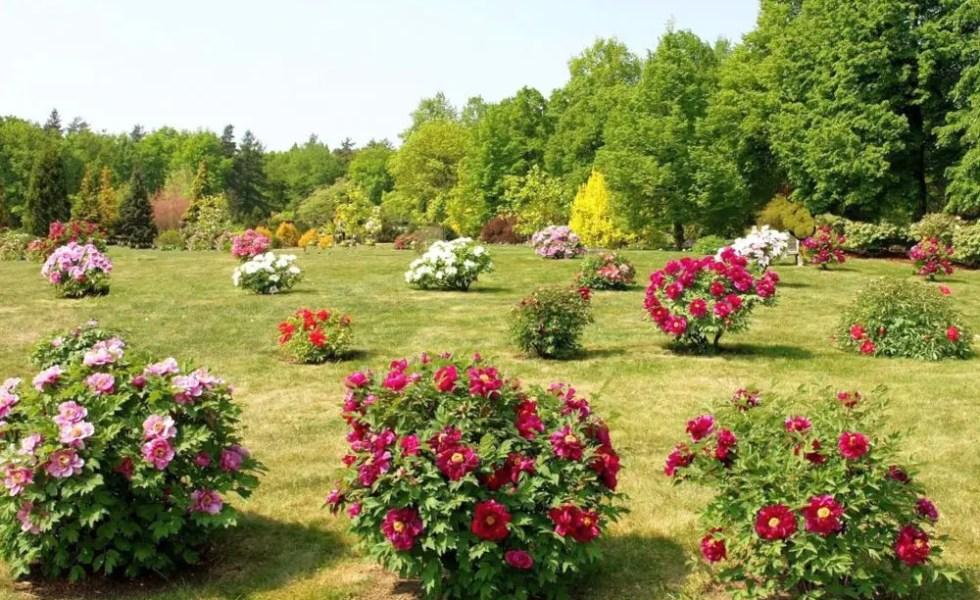 Arbusti de gradina cu flori frumoase