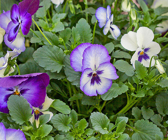 Flori care infloresc de primavara pana toamna - viola