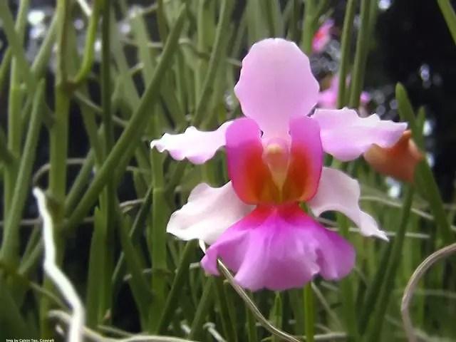orhideea vanda vanda orchid care 1