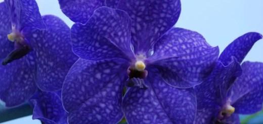 Orhideea vanda exotica