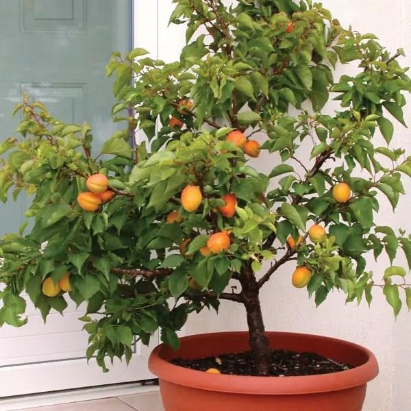 pomi fructiferi pitici cais pitic