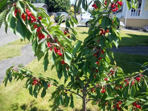 pomi fructiferi pitici cires pitic