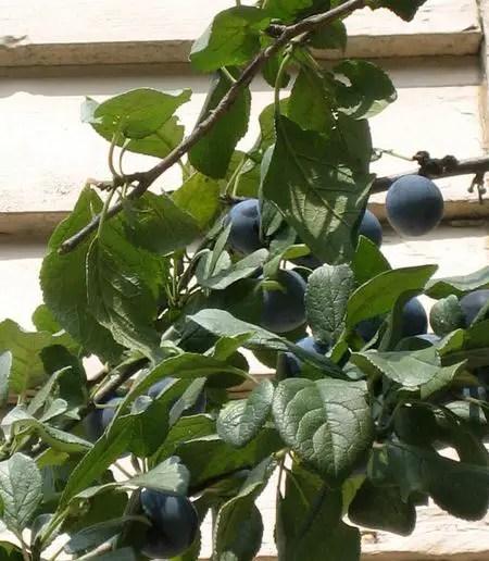 pomi fructiferi pitici prun pitic