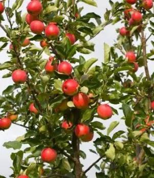 dwarf-apple-tree