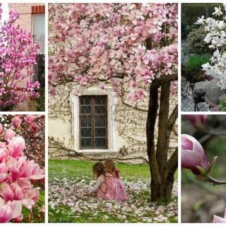 cum se planteaza magnolia