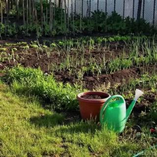 distanta de plantare la legume