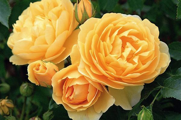 soiuri de trandafiri pentru gradina