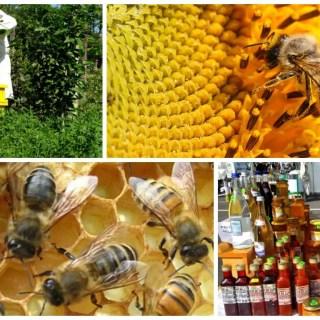 cresterea albinelor pentru incepatori