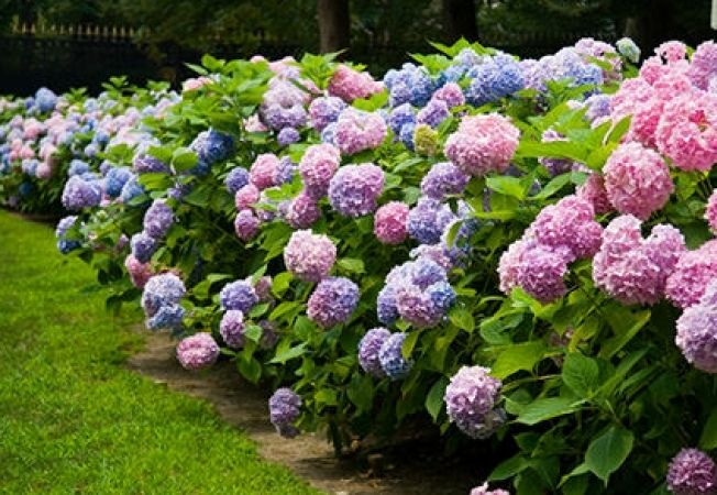 ingrijirea hortensiei in gradina