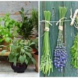 plante aromatice la ghiveci