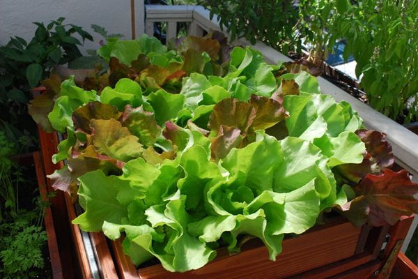 salate care pot creste in ghiveci