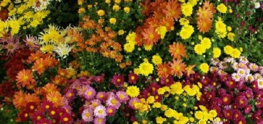 plantarea tufanelelor in gradina