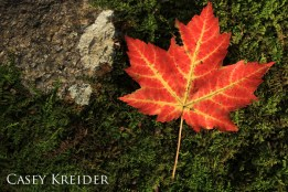 """Maple leaf off the Bobcat Trail in Storm King State Park""""]"""
