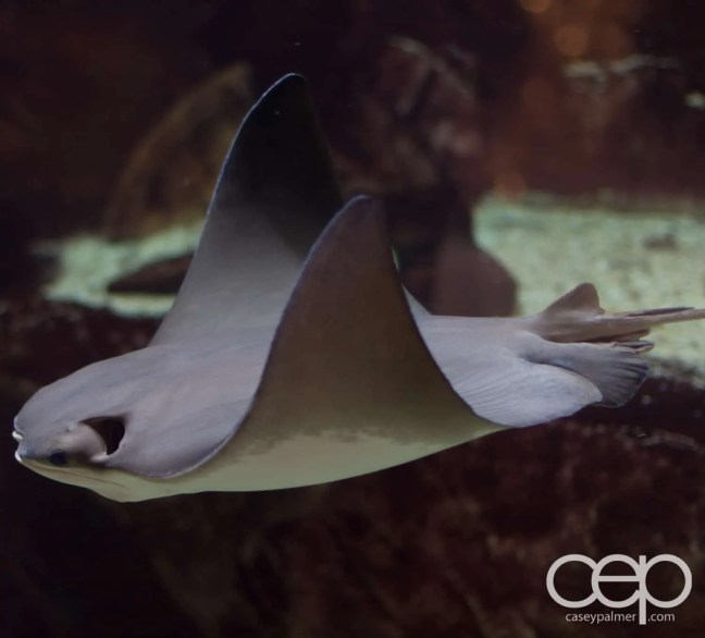 A manta ray in the Forum Shops at Caesar's largest fish tank