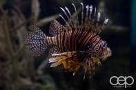 Shark Reef Aquarium at Mandalay Bay — Lionfish